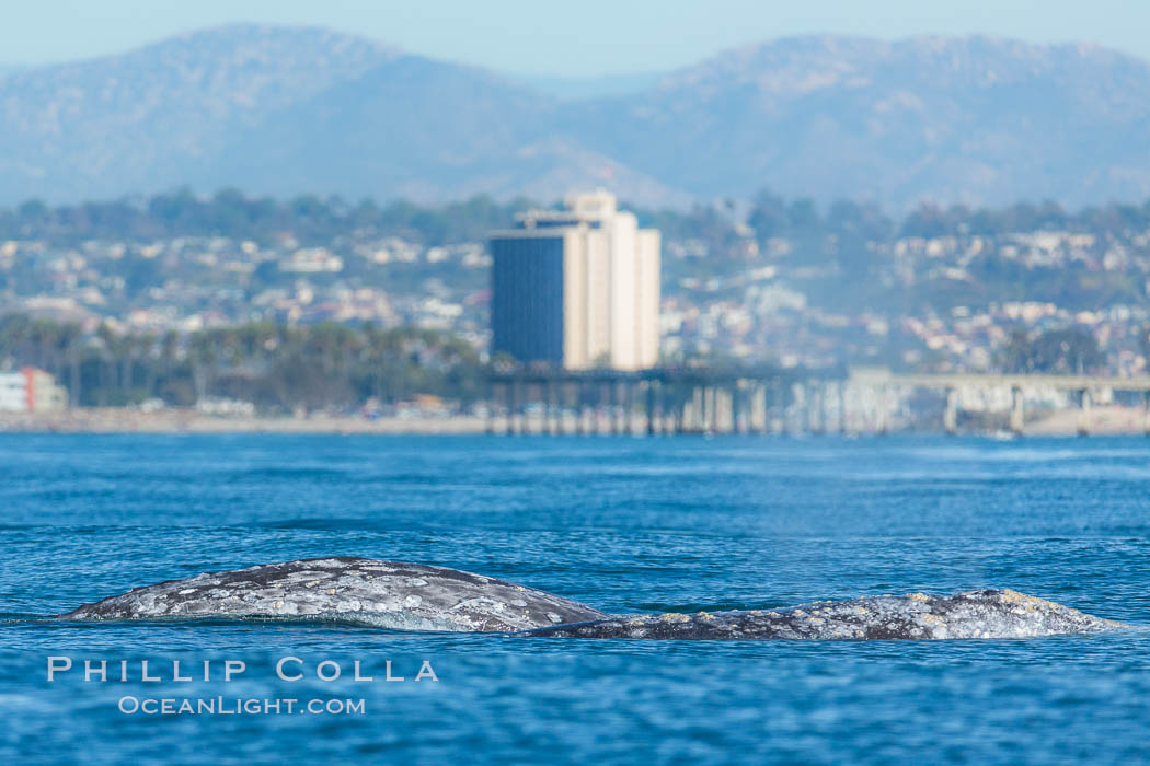 Gray whale, on southern migration to calving lagoons in Baja. San Diego, California, USA, natural history stock photograph, photo id 34230