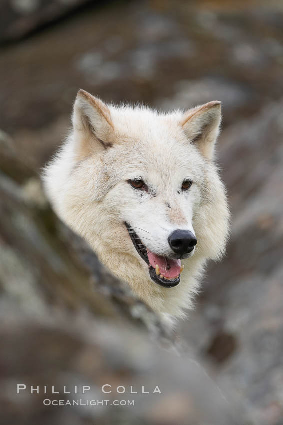 Gray wolf, Sierra Nevada foothills, Mariposa, California., Canis lupus, natural history stock photograph, photo id 16030