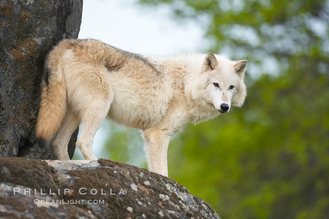 Gray wolf, Sierra Nevada foothills, Mariposa, California., Canis lupus, natural history stock photograph, photo id 16042