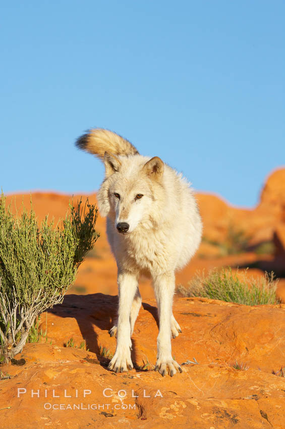 Gray wolf., Canis lupus, natural history stock photograph, photo id 12420
