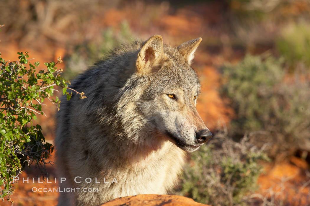 Gray wolf., Canis lupus, natural history stock photograph, photo id 12405