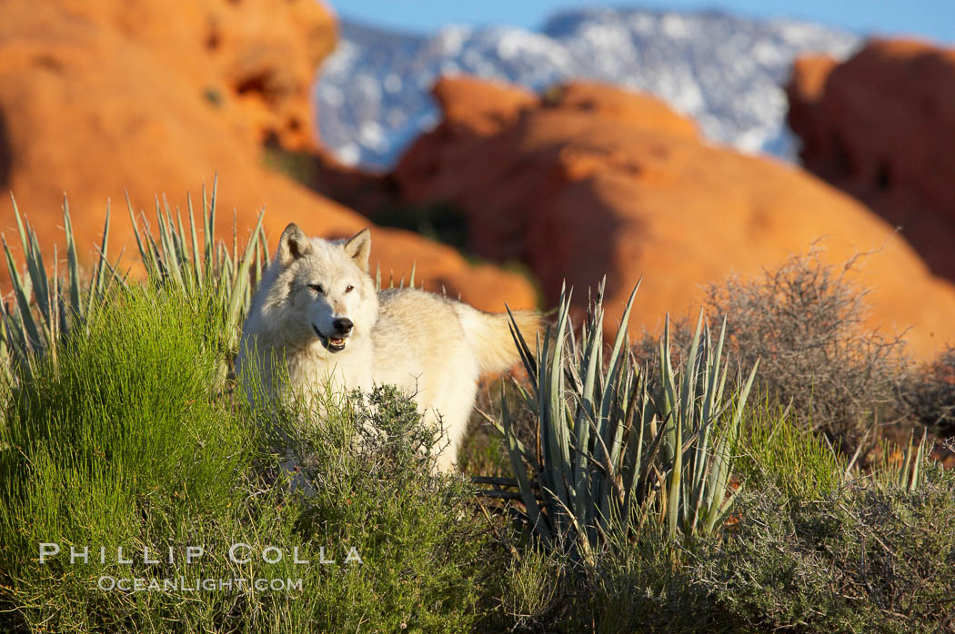 Gray wolf., Canis lupus, natural history stock photograph, photo id 12422