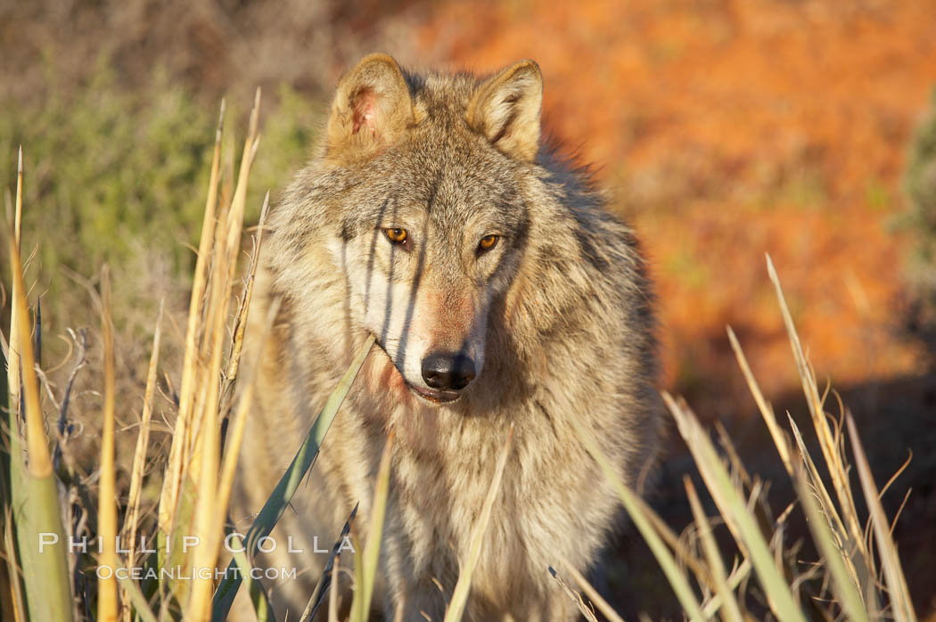 Gray wolf., Canis lupus, natural history stock photograph, photo id 12404