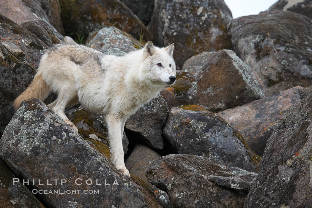 Gray wolf, Sierra Nevada foothills, Mariposa, California., Canis lupus, natural history stock photograph, photo id 16032
