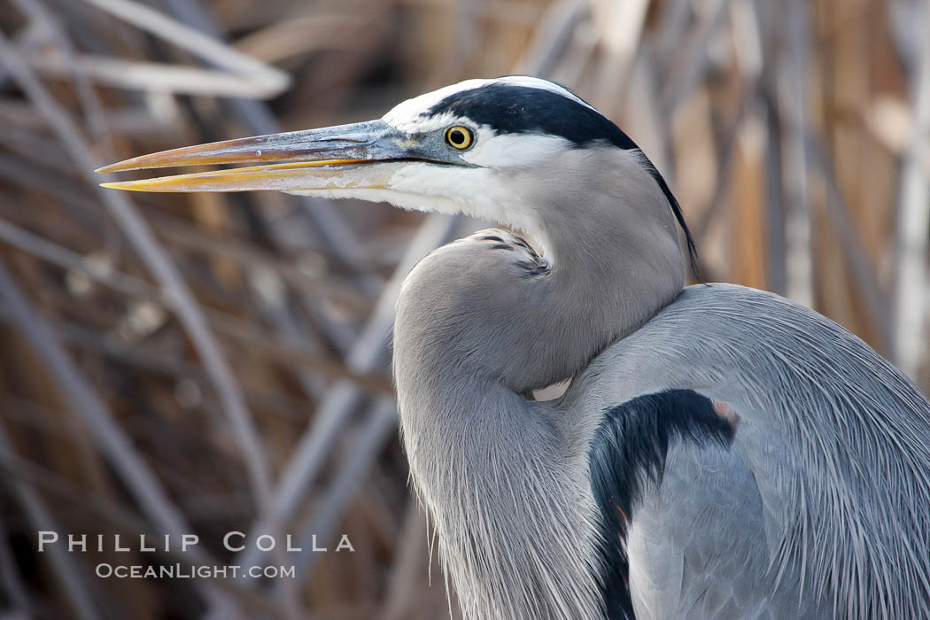 Great blue heron. Bosque del Apache National Wildlife Refuge, New Mexico, USA, natural history stock photograph, photo id 20003