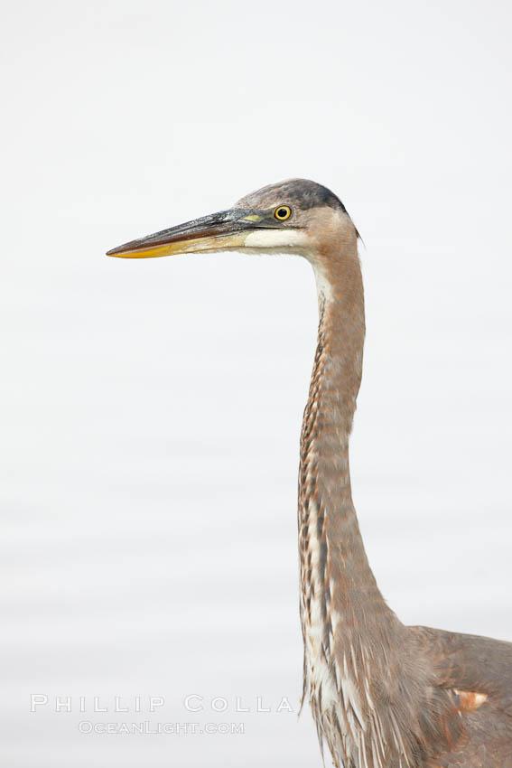 Image 23403, Great blue heron, head detail. Santee Lakes, Santee, California, USA, Ardea herodias