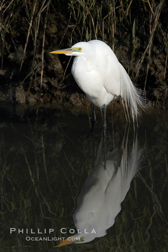 Great egret (white egret). Upper Newport Bay Ecological Reserve, Newport Beach, California, USA, Ardea alba, natural history stock photograph, photo id 15664