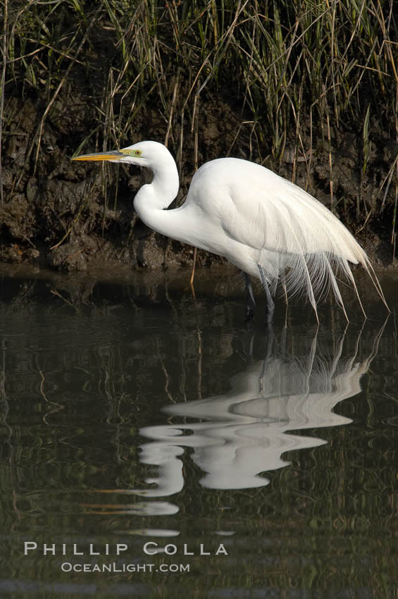Great egret (white egret). Upper Newport Bay Ecological Reserve, Newport Beach, California, USA, Ardea alba, natural history stock photograph, photo id 15661