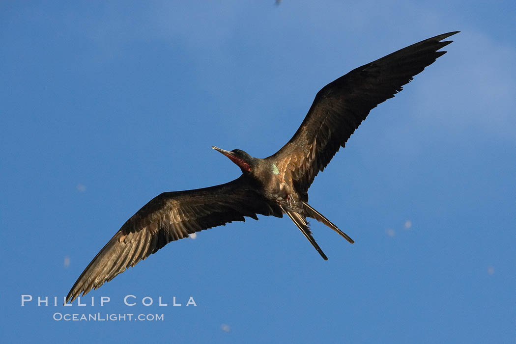 Great frigatebird, adult male, in flight,  green iridescence of scapular feathers identifying species.  Wolf Island. Galapagos Islands, Ecuador, Fregata minor, natural history stock photograph, photo id 16715