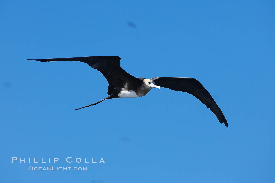 Great frigatebird, juvenile, in flight, rust-color neck identifies species.  Wolf Island. Galapagos Islands, Ecuador, Fregata minor, natural history stock photograph, photo id 16721