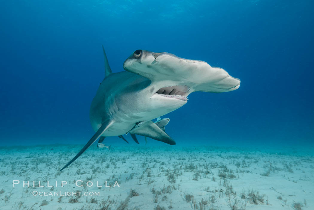 Image 31966, Great hammerhead shark. Bimini, Bahamas, Sphyrna mokarran, Phillip Colla, all rights reserved worldwide. Keywords: animal, animalia, atlantic, bahamas, carcharhinidae, carcharhiniformes, cephalofoil, chondrichthyes, chordata, creature, danger, elasmobranch, elasmobranchii, fear, jaws, nature, ocean, oceans, outdoors, outside, predator, risk, sea, shark, sphyrna, sphyrna mokarran, sphyrnidae, submarine, underwater, vertebrata, wildlife.