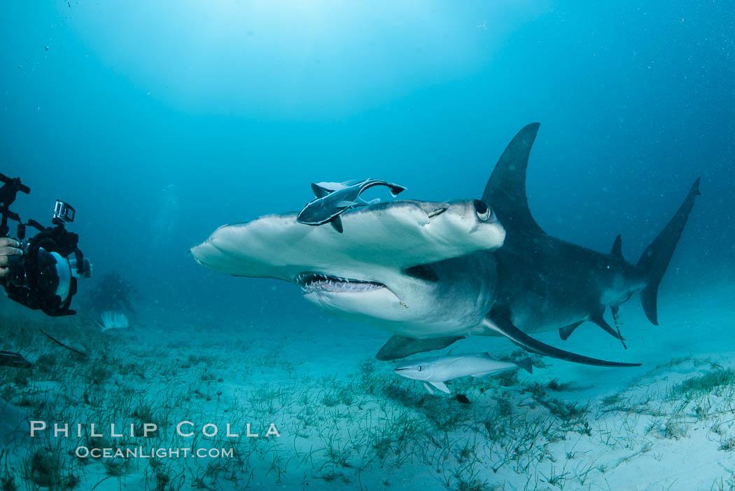 Great hammerhead shark. Bimini, Bahamas, Sphyrna mokarran, natural history stock photograph, photo id 31972