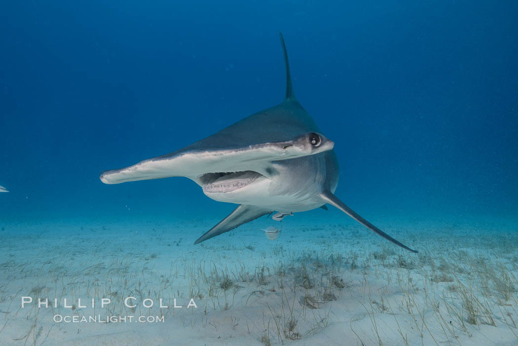 Great hammerhead shark. Bimini, Bahamas, Sphyrna mokarran, natural history stock photograph, photo id 31975
