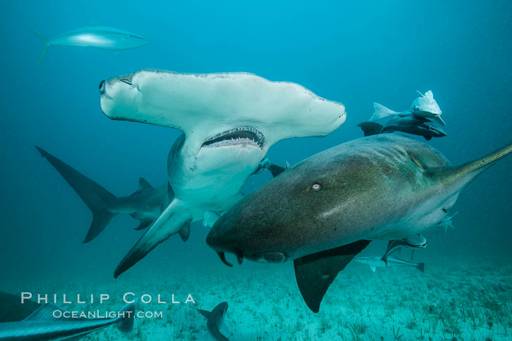 Great hammerhead shark and nurse shark. Bimini, Bahamas, Ginglymostoma cirratum, natural history stock photograph, photo id 31973