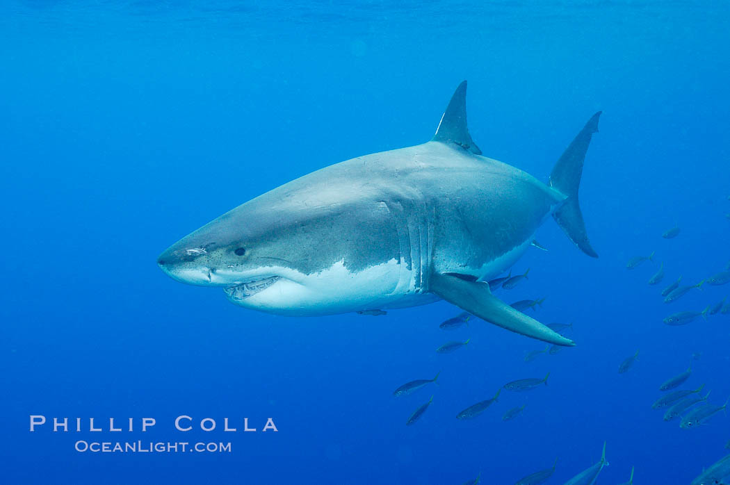 A great white shark underwater.  A large great white shark cruises the clear oceanic waters of Guadalupe Island (Isla Guadalupe). Baja California, Mexico, Carcharodon carcharias, natural history stock photograph, photo id 10114