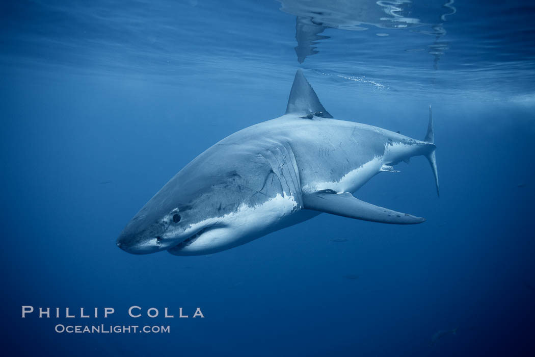 Great white shark, underwater. Guadalupe Island (Isla Guadalupe), Baja California, Mexico, Carcharodon carcharias, natural history stock photograph, photo id 21358