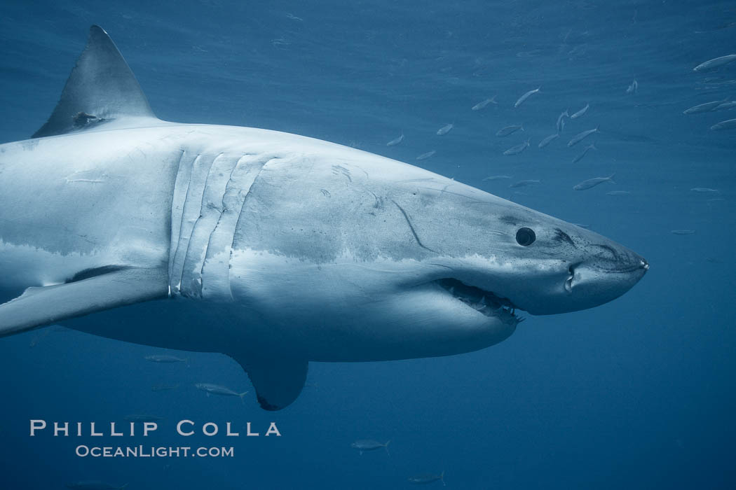 Great white shark, underwater. Guadalupe Island (Isla Guadalupe), Baja California, Mexico, Carcharodon carcharias, natural history stock photograph, photo id 21359