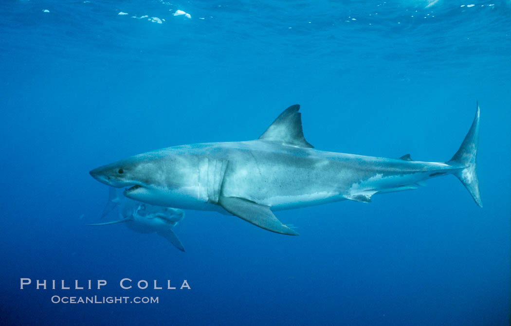 Two great white sharks. Guadalupe Island (Isla Guadalupe), Baja California, Mexico, Carcharodon carcharias, natural history stock photograph, photo id 06920