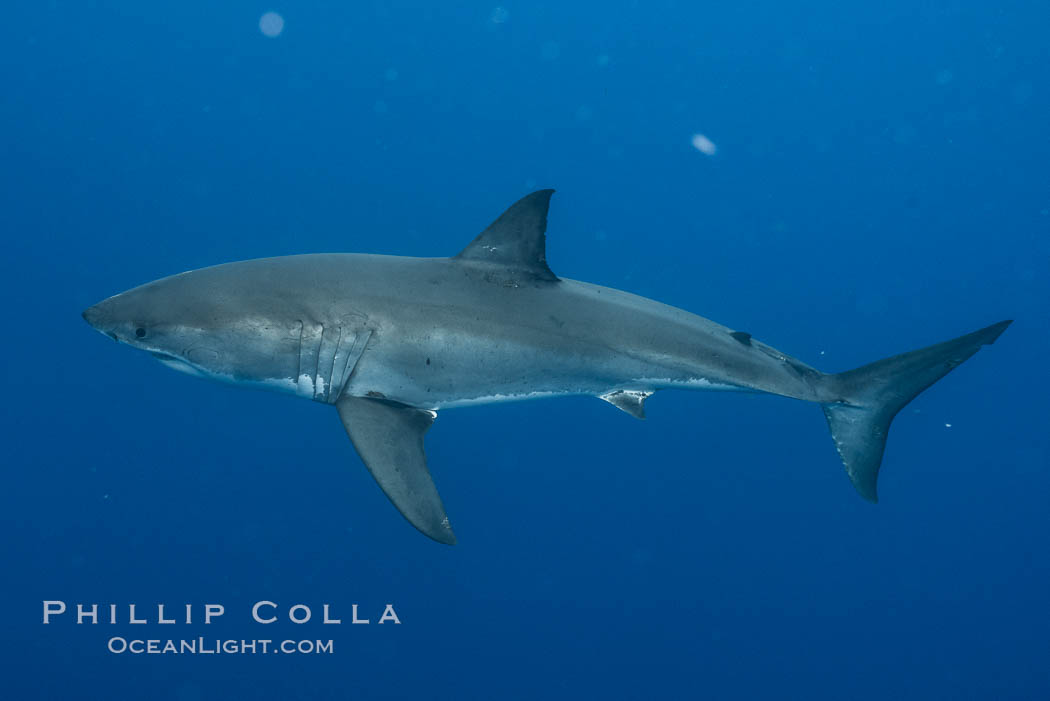 Great white shark, research identification photograph.  A great white shark is countershaded, with a dark gray dorsal color and light gray to white underside, making it more difficult for the shark's prey to see it as approaches from above or below in the water column. The particular undulations of the countershading line along its side, where gray meets white, is unique to each shark and helps researchers to identify individual sharks in capture-recapture studies. Guadalupe Island is host to a relatively large population of great white sharks who, through a history of video and photographs showing their countershading lines, are the subject of an ongoing study of shark behaviour, migration and population size. Guadalupe Island (Isla Guadalupe), Baja California, Mexico, Carcharodon carcharias, natural history stock photograph, photo id 28761