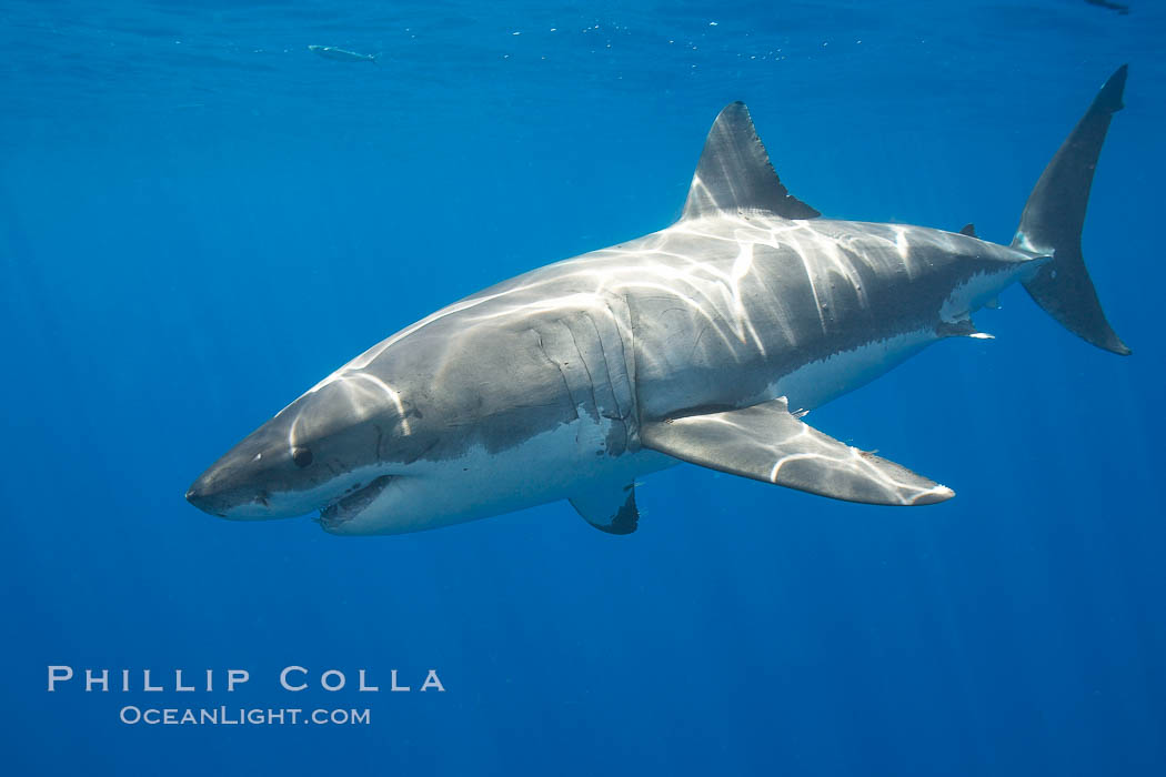 A great white shark is countershaded, with a dark gray dorsal color and light gray to white underside, making it more difficult for the shark's prey to see it as approaches from above or below in the water column.  The particular undulations of the countershading line along its side, where gray meets white, is unique to each shark and helps researchers to identify individual sharks in capture-recapture studies. Guadalupe Island is host to a relatively large population of great white sharks who, through a history of video and photographs showing their  countershading lines, are the subject of an ongoing study of shark behaviour, migration and population size. Guadalupe Island (Isla Guadalupe), Baja California, Mexico, Carcharodon carcharias, natural history stock photograph, photo id 19458