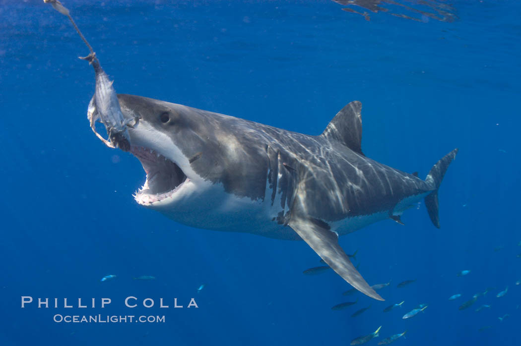 A great white shark lunges to chomp a piece of bait hanging amid the clear waters of Isla Guadalupe, far offshore of the Pacific Coast of Baja California.  Guadalupe Island is host to a concentration of large great white sharks, which visit the island to feed on pinnipeds and tuna. Guadalupe Island (Isla Guadalupe), Baja California, Mexico, Carcharodon carcharias, natural history stock photograph, photo id 07680
