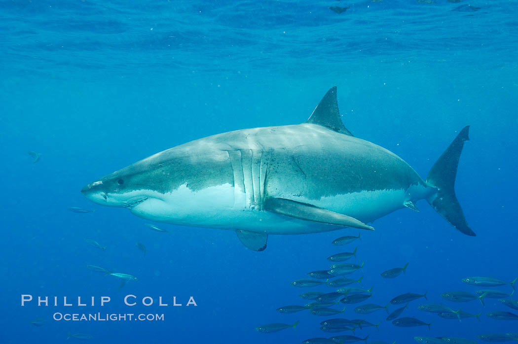 A great white shark underwater.  A large great white shark cruises the clear oceanic waters of Guadalupe Island (Isla Guadalupe). Guadalupe Island (Isla Guadalupe), Baja California, Mexico, Carcharodon carcharias, natural history stock photograph, photo id 10112