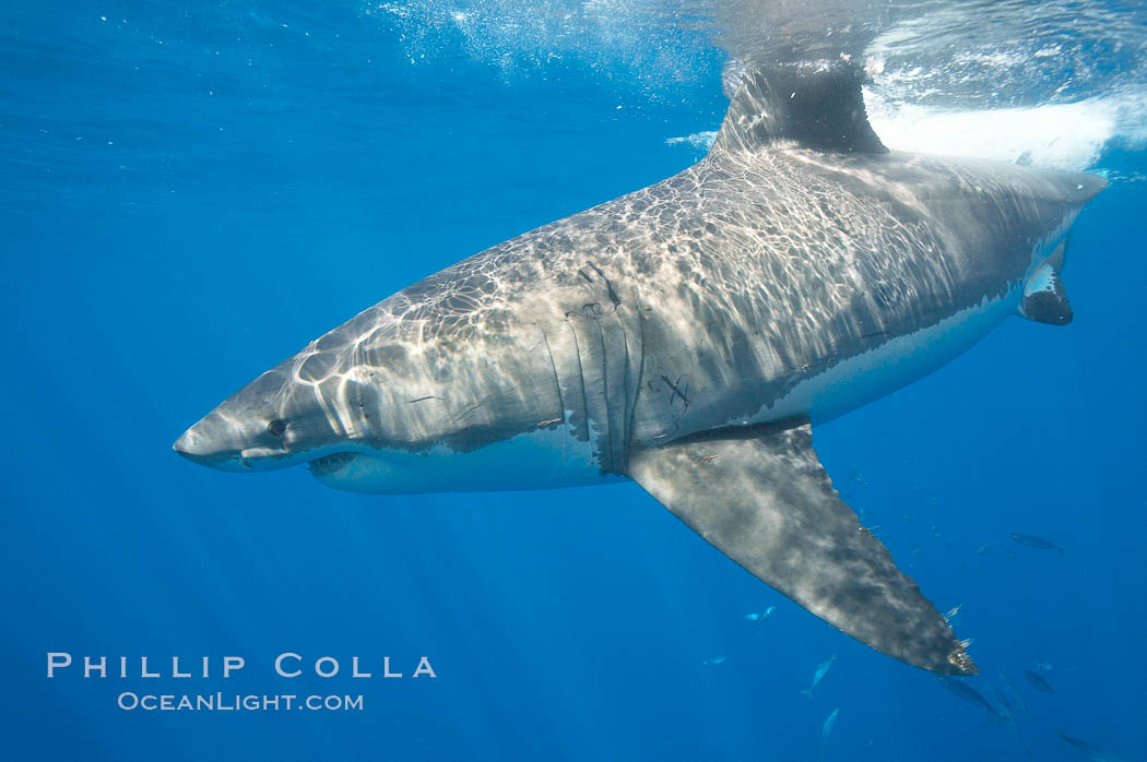 A great white shark is countershaded, with a dark gray dorsal color and light gray to white underside, making it more difficult for the shark's prey to see it as approaches from above or below in the water column.  The particular undulations of the countershading line along its side, where gray meets white, is unique to each shark and helps researchers to identify individual sharks in capture-recapture studies. Guadalupe Island is host to a relatively large population of great white sharks who, through a history of video and photographs showing their  countershading lines, are the subject of an ongoing study of shark behaviour, migration and population size. Guadalupe Island (Isla Guadalupe), Baja California, Mexico, Carcharodon carcharias, natural history stock photograph, photo id 19460
