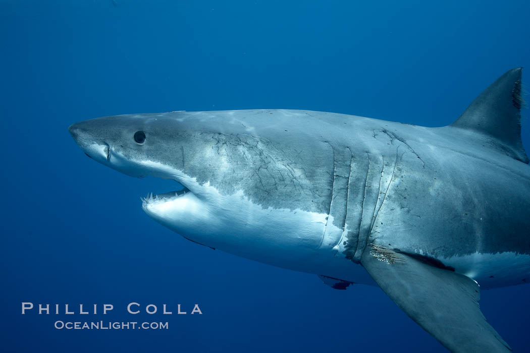 Great white shark, underwater. Guadalupe Island (Isla Guadalupe), Baja California, Mexico, Carcharodon carcharias, natural history stock photograph, photo id 21468