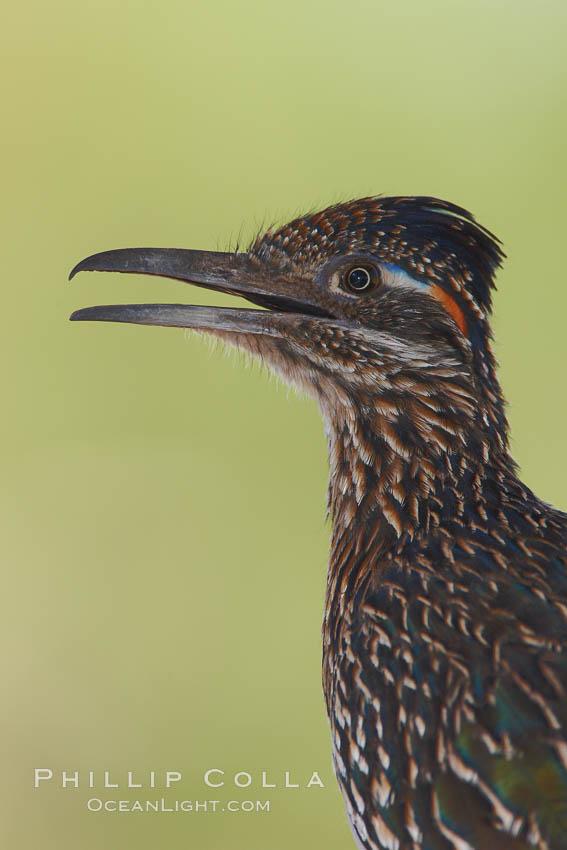 Greater roadrunner. Amado, Arizona, USA, Geococcyx californianus, natural history stock photograph, photo id 22946