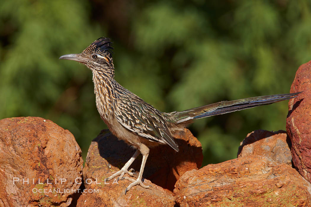 Greater roadrunner. Amado, Arizona, USA, Geococcyx californianus, natural history stock photograph, photo id 22950