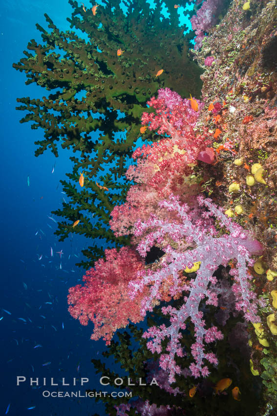 Green fan coral and dendronephthya soft corals on pristine reef, both extending polyps into ocean currents to capture passing plankton, Fiji. Namena Marine Reserve, Namena Island, Dendronephthya, Tubastrea micrantha, natural history stock photograph, photo id 31805