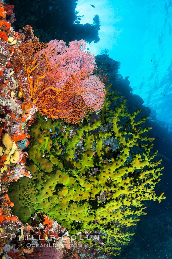 Green fan coral and sea fan gorgonians on pristine reef, both extending polyps into ocean currents to capture passing plankton, Fiji. Vatu I Ra Passage, Bligh Waters, Viti Levu  Island, Fiji, Gorgonacea, Tubastrea micrantha, natural history stock photograph, photo id 31638