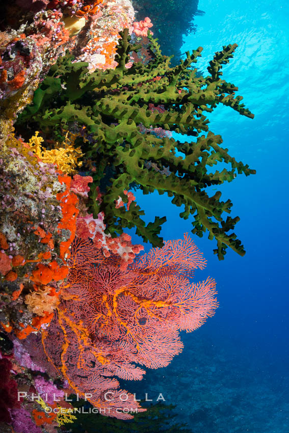 Green fan coral and sea fan gorgonians on pristine reef, both extending polyps into ocean currents to capture passing plankton, Fiji. Vatu I Ra Passage, Bligh Waters, Viti Levu  Island, Gorgonacea, Tubastrea micrantha, natural history stock photograph, photo id 31459