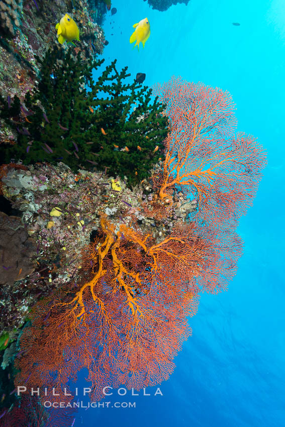 Green fan coral and sea fan gorgonians on pristine reef, both extending polyps into ocean currents to capture passing plankton, Fiji. Wakaya Island, Lomaiviti Archipelago, Fiji, Gorgonacea, Plexauridae, natural history stock photograph, photo id 31743