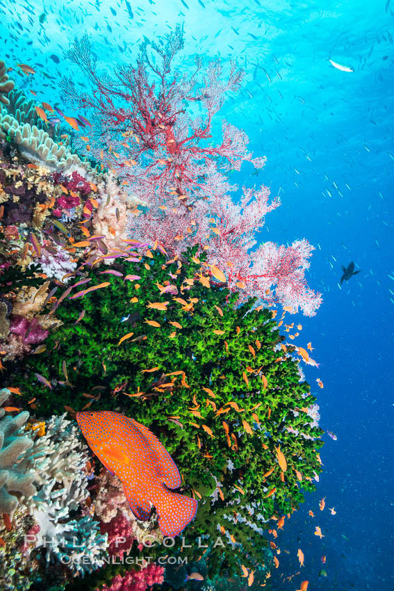 Green fan coral, anthias fishes and sea fan gorgonians on pristine reef,  Fiji., Pseudanthias, Gorgonacea, Tubastrea micrantha, natural history stock photograph, photo id 31840
