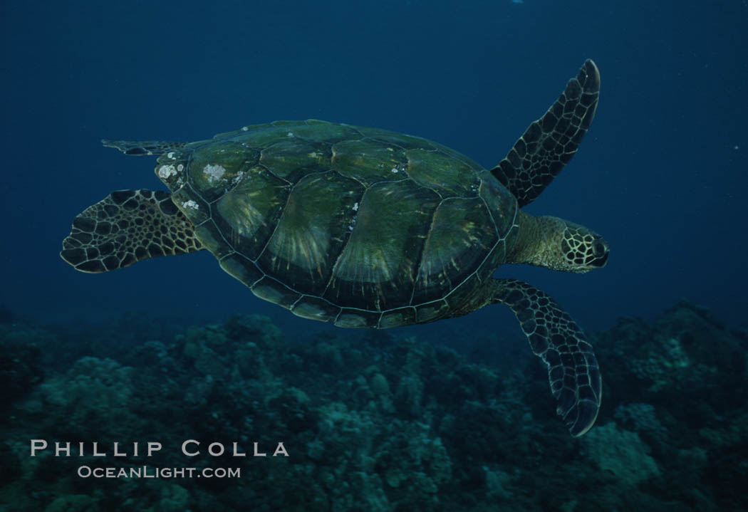 Green sea turtle, West Maui. Maui, Hawaii, USA, Chelonia mydas, natural history stock photograph, photo id 02850