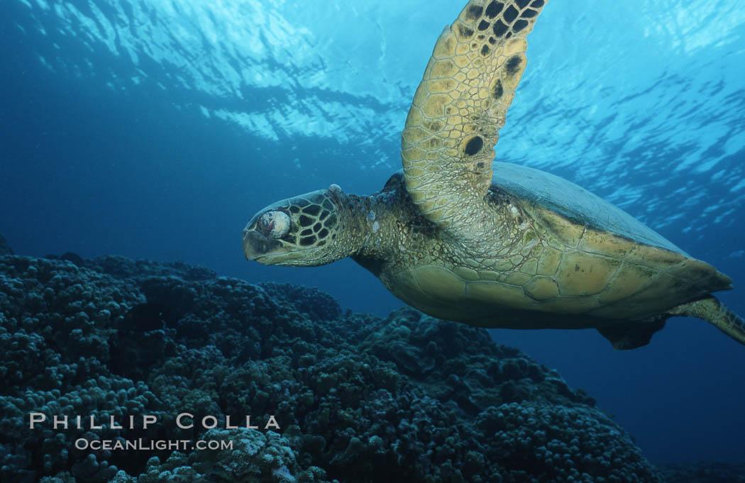 Green sea turtle exhibiting fibropapilloma tumor on left eye and neck, West Maui. Maui, Hawaii, USA, Chelonia mydas, natural history stock photograph, photo id 02902