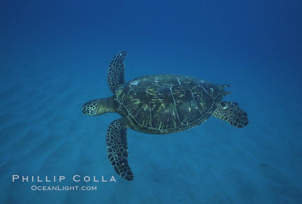Green sea turtle, Maui Hawaii. Maui, Hawaii, USA, Chelonia mydas, natural history stock photograph, photo id 04554