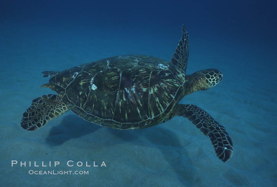 Green sea turtle, Maui Hawaii. Maui, Hawaii, USA, Chelonia mydas, natural history stock photograph, photo id 04558