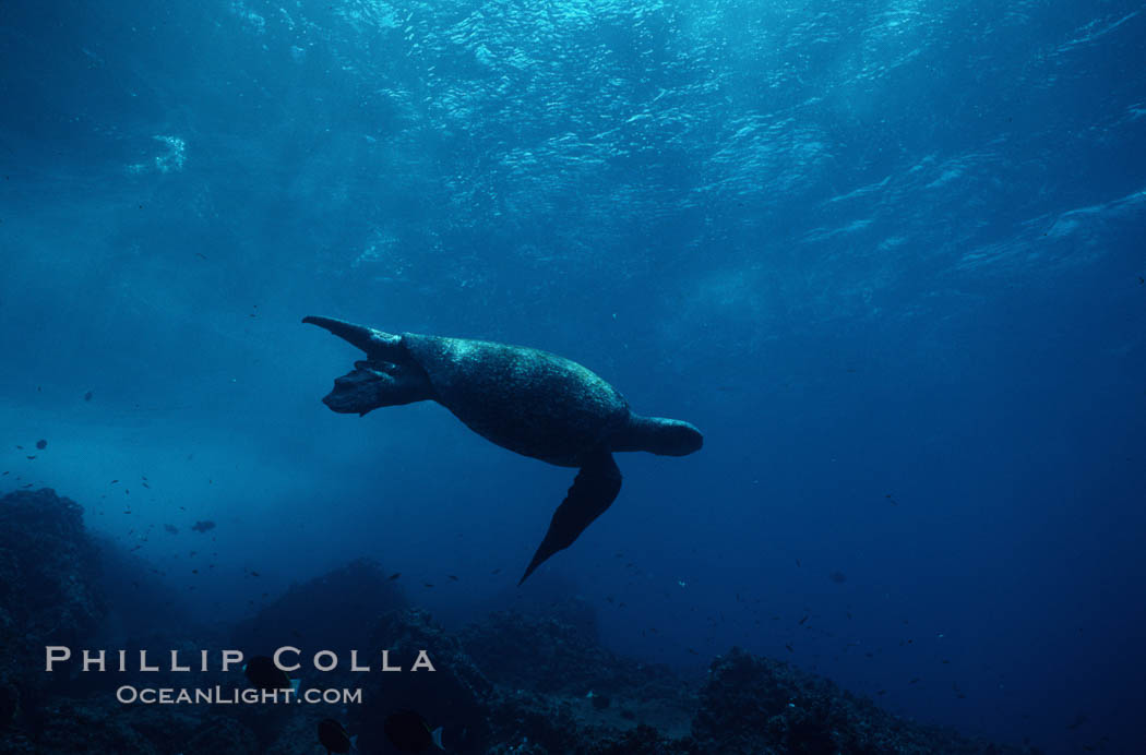 Green sea turtle. Galapagos Islands, Ecuador, Chelonia mydas, natural history stock photograph, photo id 05674