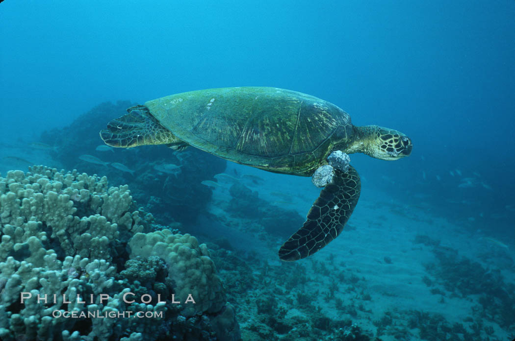 Green sea turtle exhibiting fibropapilloma tumors, West Maui. Maui, Hawaii, USA, Chelonia mydas, natural history stock photograph, photo id 02840