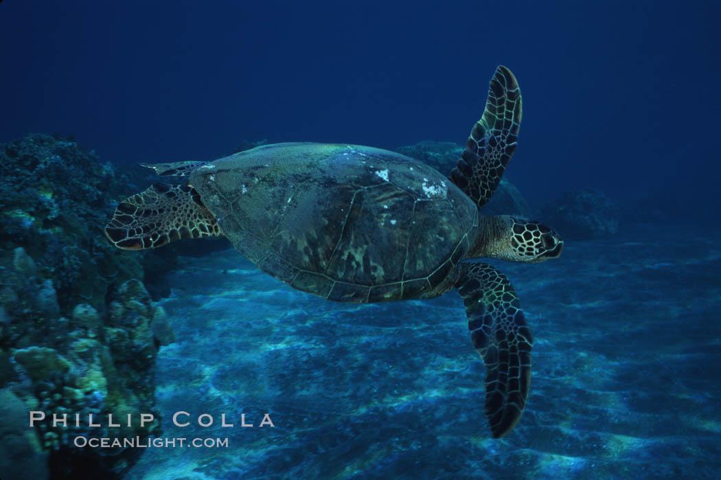 Green sea turtle, West Maui. Maui, Hawaii, USA, Chelonia mydas, natural history stock photograph, photo id 02848