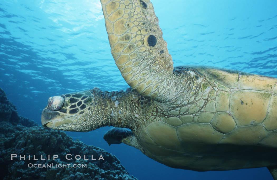 Green sea turtle exhibiting fibropapilloma tumor on left eye and neck, West Maui. Maui, Hawaii, USA, Chelonia mydas, natural history stock photograph, photo id 02900
