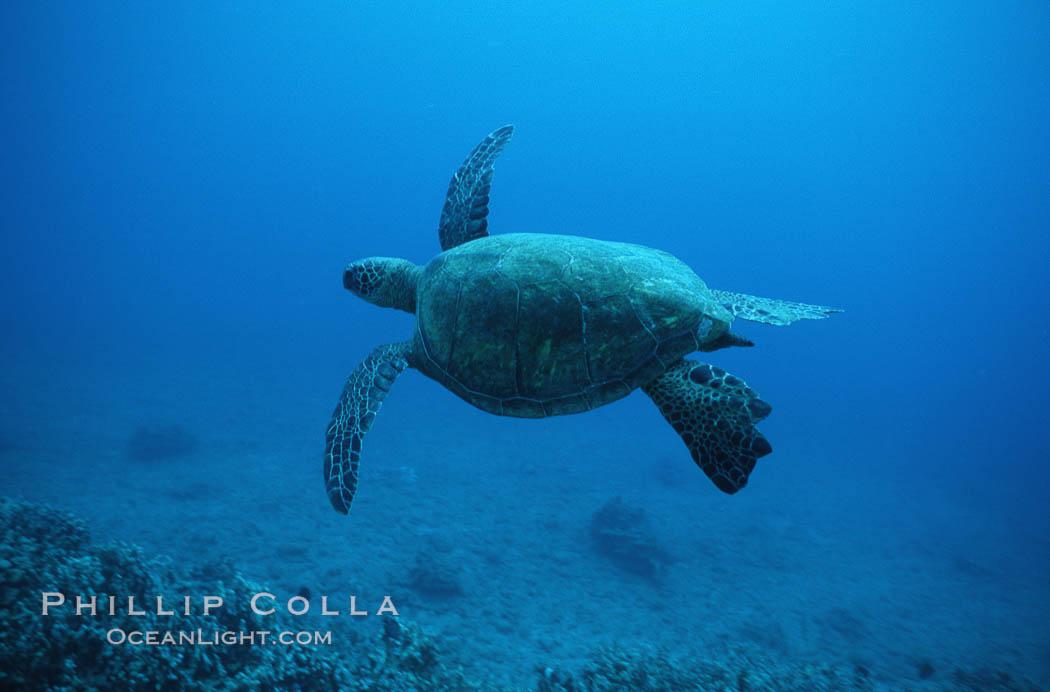 Green sea turtle. Maui, Hawaii, USA, Chelonia mydas, natural history stock photograph, photo id 05676