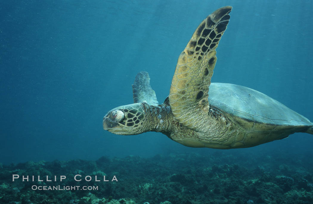 Green sea turtle exhibiting fibropapilloma tumor on left eye and neck, West Maui. Maui, Hawaii, USA, Chelonia mydas, natural history stock photograph, photo id 02907