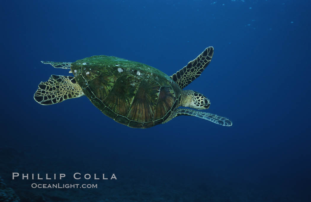 Green sea turtle, West Maui. Maui, Hawaii, USA, Chelonia mydas, natural history stock photograph, photo id 02911