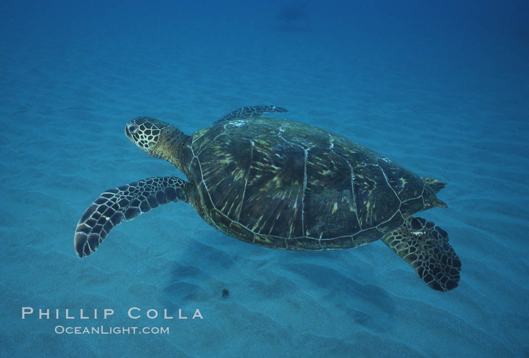 Green sea turtle, Maui Hawaii. Maui, Hawaii, USA, Chelonia mydas, natural history stock photograph, photo id 04559