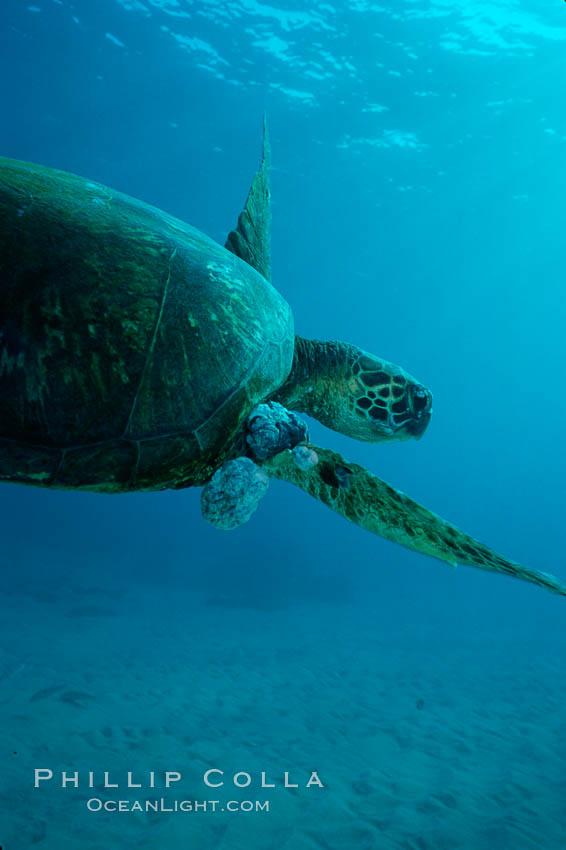 Green sea turtle exhibiting fibropapilloma tumors, West Maui. Maui, Hawaii, USA, Chelonia mydas, natural history stock photograph, photo id 02841
