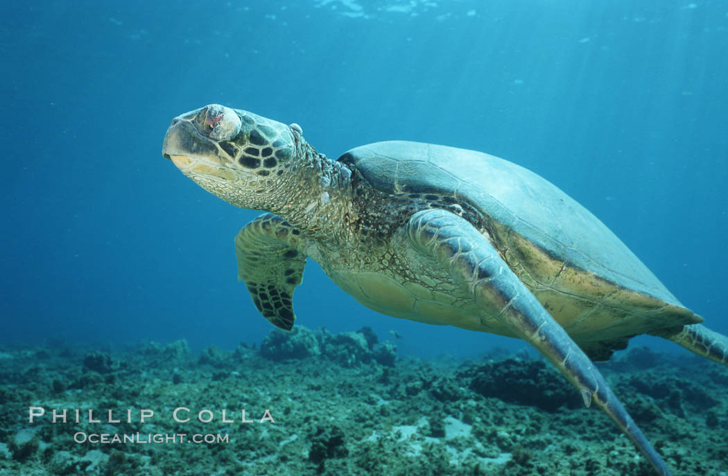Green sea turtle exhibiting fibropapilloma tumor on left eye and neck, West Maui. Maui, Hawaii, USA, Chelonia mydas, natural history stock photograph, photo id 02905