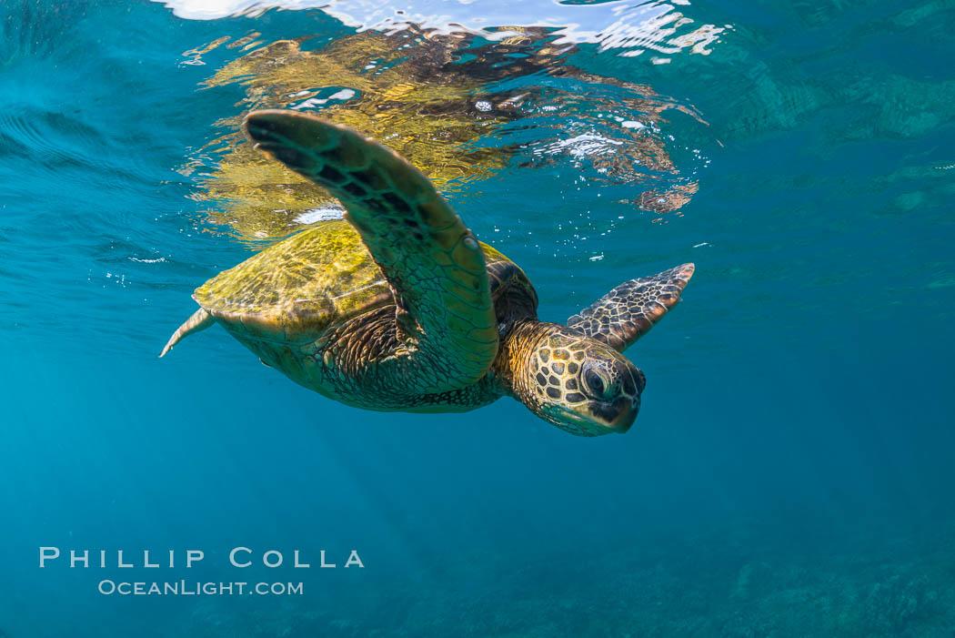 Green sea turtle Chelonia mydas, West Maui, Hawaii. Maui, Hawaii, USA, Chelonia mydas, natural history stock photograph, photo id 34512